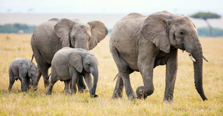 elephants-zakouma